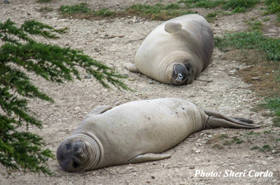 Elephant Seals-Photo by Sheri Cardo